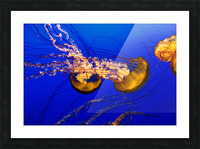 Monterey Jellyfish Picture Frame print