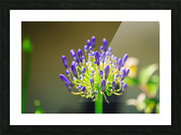 Agapanthus Picture Frame print