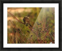 Sparrow on Wild Rose  Picture Frame print