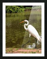 Strutting Egret Picture Frame print
