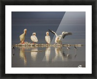 Pelican Reflections 2 Picture Frame print