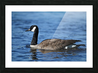 Canada Goose on water Picture Frame print