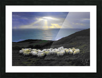 Sheep grazing Picture Frame print