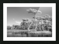 Blue cypress trees horizontal Picture Frame print