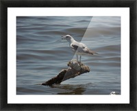 Ring-billed Gull Picture Frame print
