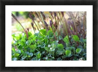 White sweet violets and peony sprouts Picture Frame print