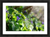 Spring sweet violets in the garden Picture Frame print