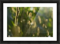 Glowing field grass Picture Frame print