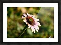 Autumn Echinacea Picture Frame print