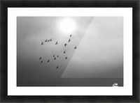 Doves daily flight routine Picture Frame print