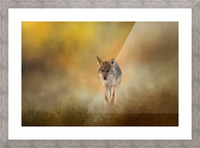 Strolling Coyote Picture Frame print