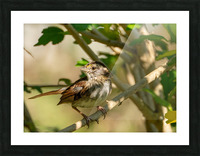 Sparrow Picture Frame print