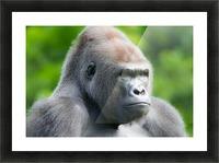 Gorilla Picture Frame print