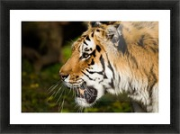 Tiger Picture Frame print