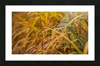 FLAMBOYANTES GRAMINEES NO. 1 - FLAMBOYANT GRASSES NO. 1 Impression et Cadre photo