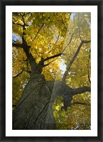 Fall Tree Picture Frame print