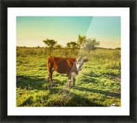 Cow in the Field Watching the Camera Picture Frame print