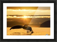 A Humpback Whale returns to the depths of Alaska's Inside Passage as the sun begins to set, Stephens Passage, near Juneau. Picture Frame print