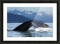 A Humpback whale lifts its flukes as it returns to the depths to feed in the bountiful waters of Alaska's Inside Passage, Tracy Arm in the distance, Stephens Passage, near Juneau. Picture Frame print