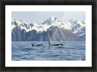 killer whale, or orcas, Orcinus orca, cow and calf swimming in Resurrection Bay, Kenai Fjords National Park, outside Seward, southcentral Alaska, spring Picture Frame print