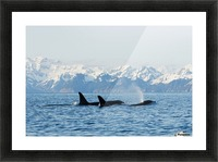 killer whale, or orcas, Orcinus orca, pod in traveling in Resurrection Bay, Kenai Fjords National Park, outside Seward, southcentral Alaska, spring Picture Frame print