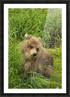 Brown bear (Ursus arctos) cub close-up, sitting in grass, Katmai National Park and Preserve, Southwest Alaska, USA Picture Frame print