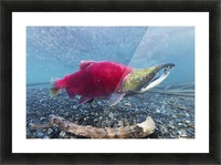 Underwater view of a male Sockeye Salmon in Power Creek near Cordova, Southcentral Alaska Picture Frame print