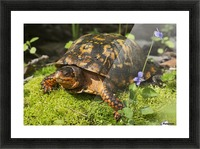 Eastern box turtle on sphagnum moss among blue violets; Connecticut, USA Picture Frame print
