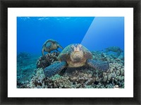Several green sea turtles (Chelonia mydas), an endangered species, gather at a cleaning station off West Maui; Maui, Hawaii, United States of America Picture Frame print