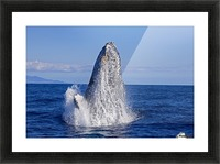 Breaching humpback whale (Megaptera novaeangliae); Maui, Hawaii, United States of America Picture Frame print