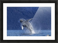 A young Humpback Whale leaps from the calm waters of the Stephens Passage near Tracy Arm, Southeast Alaska, USA. Picture Frame print