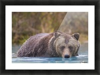 Close up of a coastal Brown Bear (Ursus Arctos) wading in water, Southcentral Alaska, Autumn Picture Frame print