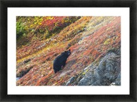 Black bear (Urus Americanus) standing on a colorful autumn hillside, Kenai Fjords National Park, Southcentral Alaska Picture Frame print