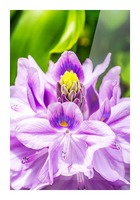 Water Lily Picture Frame print
