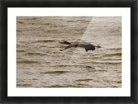 Heron flight Picture Frame print