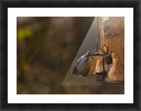 Nuthatch feeding Picture Frame print