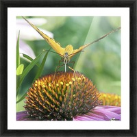 Butterfly on cone flower Picture Frame print