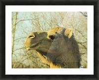 Aribian Camel Picture Frame print