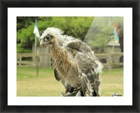 baby hawk1 Picture Frame print