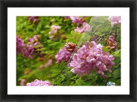 Rose Acacia Blossoms Picture Frame print