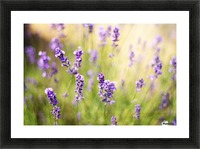 Lavender flowers Picture Frame print