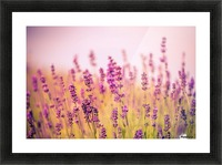 Beautiful Sunset lavender flowers Picture Frame print