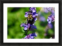 Bumbling Bee 2 Picture Frame print