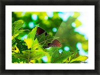 Resting on A Maple Leaf Picture Frame print