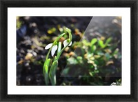 Snowdrop couple Picture Frame print
