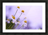 Chamomile in spring Picture Frame print