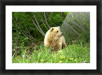 Two Year Old Grizzly Picture Frame print