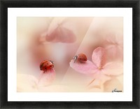 Ladybirds on pink hydrangea. Picture Frame print