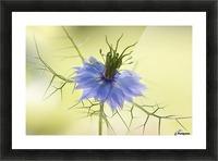 Nigella Picture Frame print