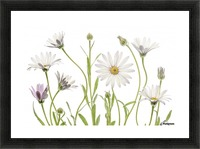 Cape Daisies Picture Frame print